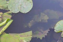 Δασικός ποταμός με τα πράσινα φύλλα και τα υδρόβια φυτά ο κρίνων νερού Στοκ Εικόνα