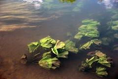 Δασικός ποταμός με τα πράσινα φύλλα και τα υδρόβια φυτά ο κρίνων νερού Στοκ Φωτογραφία