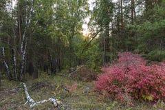 Δασικός ροδαλός θάμνος φθινοπώρου Στοκ Φωτογραφία