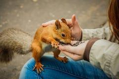 Δασικός σκίουρος που τρώει τους σπόρους ηλίανθων από ένα χέρι Στοκ Εικόνα