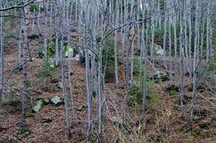 Δασικός τον τελευταίο καιρό χειμώνας οξιών στο βουνό Vitosha Στοκ φωτογραφία με δικαίωμα ελεύθερης χρήσης