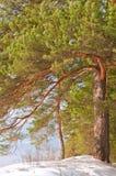 δασικός χειμώνας πεύκων Στοκ φωτογραφία με δικαίωμα ελεύθερης χρήσης