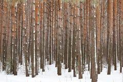 δασικός χειμώνας πεύκων Στοκ Φωτογραφίες