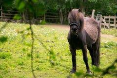 Δασικό άλογο Epping στοκ φωτογραφίες