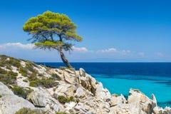 Δασικό δέντρο πεύκων θαλασσίως σε Halkidiki Στοκ Εικόνα