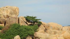 Δασικό δέντρο πεύκων θαλασσίως φιλμ μικρού μήκους