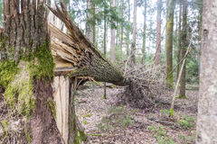 Δασικό δέντρο που καταρρίπτεται σε μια θύελλα Στοκ Φωτογραφίες