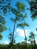 Δασικό δέντρο στο εθνικό πάρκο της Ασίας, Ταϊλάνδη 10 Στοκ Εικόνες