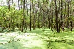 Δασικό έλος Πράσινα δέντρα στο έλος Στοκ Εικόνες