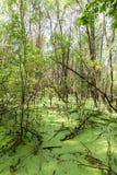 Δασικό έλος Πράσινα δέντρα στο έλος Στοκ εικόνα με δικαίωμα ελεύθερης χρήσης