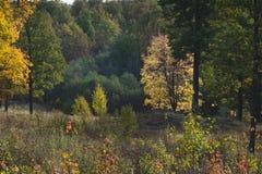 Δασικό Α δέντρο φθινοπώρου με τα κίτρινα φύλλα, αναδρομικά φωτισμένα από τον ήλιο στοκ φωτογραφία με δικαίωμα ελεύθερης χρήσης