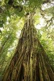 δασικό δέντρο βροχής σύκων  Στοκ φωτογραφία με δικαίωμα ελεύθερης χρήσης