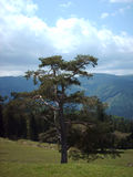 δασικό δέντρο Στοκ Εικόνα