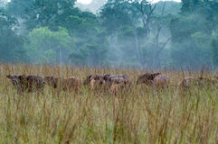 Δασικό εθνικό πάρκο conkouati-Douli βούβαλων, Κονγκό Στοκ φωτογραφίες με δικαίωμα ελεύθερης χρήσης