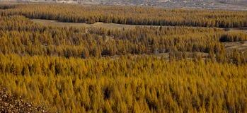 δασικό εθνικό saihanba πάρκων Στοκ εικόνα με δικαίωμα ελεύθερης χρήσης