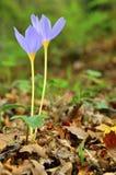 Δασικό λεπτό λουλούδι areaa στα φύλλα φθινοπώρου Στοκ Εικόνες