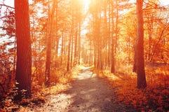 Δασικό ηλιόλουστο τοπίο φθινοπώρου - η σειρά του φθινοπώρου κιτρίνισε τα δέντρα κάτω από το φως του ήλιου φθινοπώρου Στοκ εικόνες με δικαίωμα ελεύθερης χρήσης