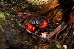 Δασικό καβούρι ή δέντρο που αναρριχείται στο καβούρι Μαδαγασκάρη Στοκ Εικόνες