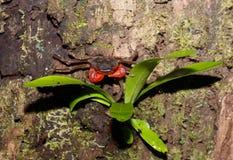 Δασικό καβούρι ή δέντρο που αναρριχείται στο καβούρι Μαδαγασκάρη Στοκ φωτογραφίες με δικαίωμα ελεύθερης χρήσης