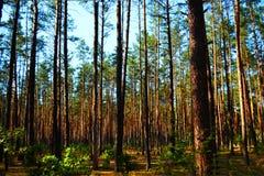 δασικό καλοκαίρι πεύκων Στοκ εικόνα με δικαίωμα ελεύθερης χρήσης
