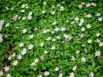 Δασικό κρεβάτι με την αφθονία των άγριων anemones, νόσος του Alsheimer στη Δανία Στοκ εικόνα με δικαίωμα ελεύθερης χρήσης