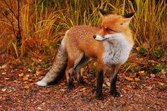 δασικό κόκκινο αλεπούδω Στοκ εικόνες με δικαίωμα ελεύθερης χρήσης
