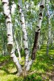 δασικό λευκό τοπίων σημύδ&ome Στοκ Εικόνα
