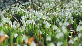 Δασικό λιβάδι με τα λουλούδια Snowdrop ανοίξεων απόθεμα βίντεο