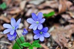 Δασικό λουλούδι, δασικός ήλιος λουλουδιών την άνοιξη σε ένα δάσος βουνών Στοκ εικόνα με δικαίωμα ελεύθερης χρήσης