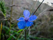 Δασικό μπλε λουλουδιών Στοκ εικόνα με δικαίωμα ελεύθερης χρήσης