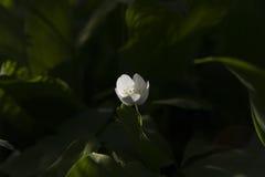 Δασικό λουλούδι Στοκ εικόνα με δικαίωμα ελεύθερης χρήσης