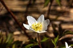 Δασικό λουλούδι Anemone Στοκ φωτογραφία με δικαίωμα ελεύθερης χρήσης