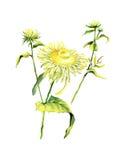Δασικό λουλούδι chamomile που απομονώνει στο άσπρο υπόβαθρο ελεύθερη απεικόνιση δικαιώματος
