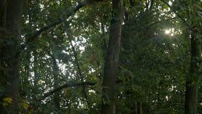 Δασικό πανόραμα οξιών και ο ήλιος, με τις φωτεινές ακτίνες του φωτός υπέροχα που λάμπουν μέσω των δέντρων φιλμ μικρού μήκους
