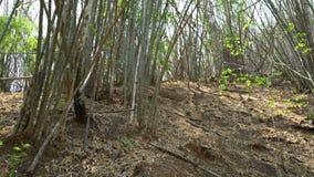 Δασικό περιβάλλον φύσης δέντρων μπαμπού απόθεμα βίντεο