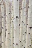 Δασικό πορτρέτο δέντρων της χειμερινής Aspen Στοκ φωτογραφίες με δικαίωμα ελεύθερης χρήσης