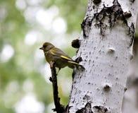 Δασικό πουλί πουλιών greenfinch με τα λατινικά chloris Carduelis ονόματος Στοκ Εικόνες