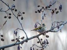 Δασικό πουλί Στοκ Εικόνες