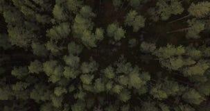 δασικό πράσινο πεύκο απόθεμα βίντεο