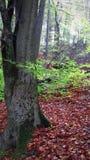 δασικό πρόσφατο καλοκαίρ Τα φύλλα έχουν πέσει ήδη Τα φύλλα είναι ακόμα πράσινα στα δέντρα στοκ φωτογραφίες