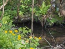 Δασικό ρεύμα με ανθίζοντας κίτρινα marigolds έλους, bokeh backgr στοκ εικόνα με δικαίωμα ελεύθερης χρήσης