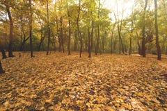Δασικό σύνολο φθινοπώρου των χρυσών δέντρων Στοκ εικόνες με δικαίωμα ελεύθερης χρήσης