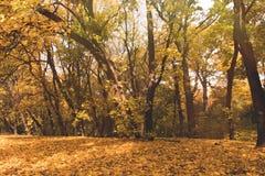 Δασικό σύνολο φθινοπώρου των χρυσών δέντρων Στοκ φωτογραφίες με δικαίωμα ελεύθερης χρήσης