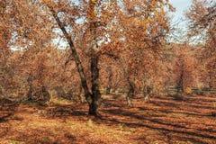 Δασικό σύνολο των πορτοκαλιών φύλλων φθινοπωρινό τοπίο Στοκ Φωτογραφίες