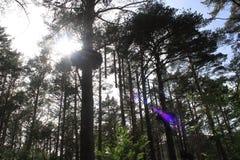 Δασικό σύνολο των ψηλών δέντρων με μια πλατφόρμα και τον ήλιο Στοκ εικόνα με δικαίωμα ελεύθερης χρήσης