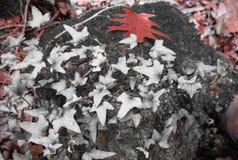 Δασικό τοπίο πτώσης στο κόκκινο εκλεκτικό χρώμα με το δρύινο φύλλο δέντρων κισσών και σφενδάμνου Στοκ Εικόνα