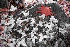 Δασικό τοπίο πτώσης στο κόκκινο εκλεκτικό χρώμα με το δρύινο φύλλο δέντρων κισσών και σφενδάμνου Στοκ εικόνα με δικαίωμα ελεύθερης χρήσης