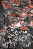 Δασικό τοπίο πτώσης στο κόκκινο εκλεκτικό χρώμα με το δρύινο φύλλο δέντρων κισσών και σφενδάμνου Στοκ φωτογραφία με δικαίωμα ελεύθερης χρήσης