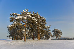 Δασικό χειμερινό πεύκο Στοκ Φωτογραφίες