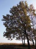 Δασικό όμορφο δέντρο φθινοπώρου βαλανιδιά Στοκ εικόνα με δικαίωμα ελεύθερης χρήσης